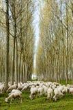 Multitud de las ovejas que pastan foto de archivo libre de regalías
