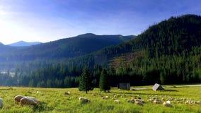 Multitud de las ovejas que pastan en las montañas en la salida del sol, Polonia de Tatra metrajes