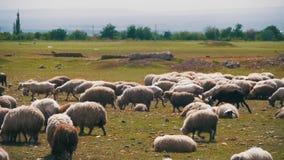 Multitud de las ovejas que pastan en un campo contra el contexto de las montañas Cámara lenta almacen de video