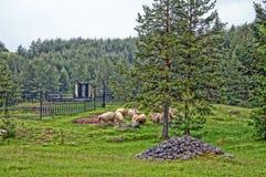 Multitud de las ovejas que pastan en un prado en el Durmitor Imágenes de archivo libres de regalías