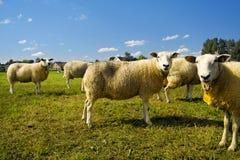 Multitud de las ovejas que se colocan en esperar del campo Imagen de archivo libre de regalías