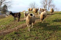 Multitud de las ovejas y de la sola cabra que se colocan encima de la colina Fotografía de archivo
