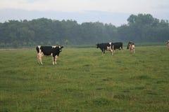 Multitud de las vacas negro-blancas en un prado foto de archivo libre de regalías