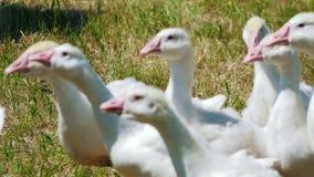 Multitud de los animales domésticos de los gansos blancos en parque en campo de hierba metrajes
