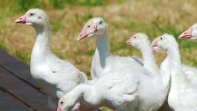 Multitud de los animales domésticos de los gansos blancos en parque en campo de hierba almacen de metraje de vídeo