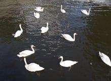 Multitud de los cisnes mudos blancos que nadan en el agua Fotos de archivo
