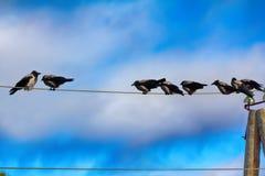 Multitud de los cuervos que descansan sobre los alambres eléctricos Imagen de archivo