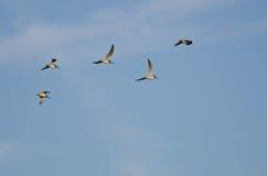 Multitud de los Dowitchers de pico corto que vuelan en un cielo azul Fotos de archivo