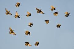 Multitud de los estorninos que vuelan en un cielo azul Fotos de archivo