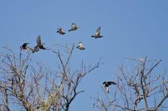 Multitud de los estorninos que vuelan entre los árboles Fotografía de archivo