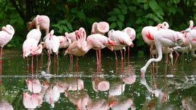 Multitud de los flamencos rosados que se atusan sus plumas almacen de video