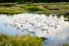 Multitud de los gansos blancos en el pequeño lago, los gansos del pueblo Imagen de archivo