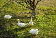 Multitud de los gansos blancos que pastan en hierba cerca de árbol Fotos de archivo
