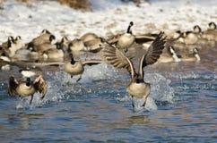 Multitud de los gansos de Canadá que sacan de un río del invierno Fotos de archivo libres de regalías