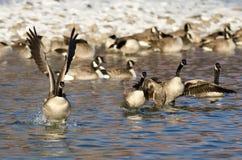 Multitud de los gansos de Canadá que sacan de un río del invierno Fotos de archivo