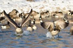 Multitud de los gansos de Canadá que sacan de un río del invierno Fotografía de archivo