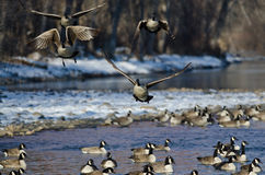 Multitud de los gansos de Canadá que sacan de un río del invierno Foto de archivo