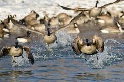 Multitud de los gansos de Canadá que sacan de un río del invierno Fotografía de archivo libre de regalías