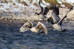 Multitud de los gansos de Canadá que sacan de un río del invierno Imagen de archivo libre de regalías