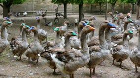 Multitud de los gansos de la cebadura en la granja rural almacen de video