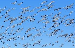 Multitud de los gansos de nieve Fotografía de archivo