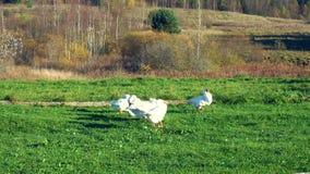 Multitud de los gansos en el prado que se atusan sus plumas almacen de video