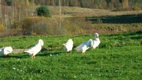 Multitud de los gansos en el prado que se atusan sus plumas metrajes