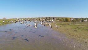 Multitud de los gansos en vuelo