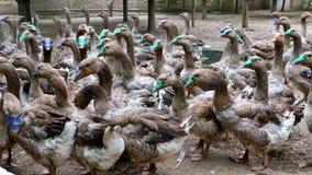 Multitud de los gansos nacionales de la parrilla en la granja almacen de metraje de vídeo