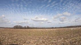 Multitud de los gansos de nieve en campo de maíz almacen de metraje de vídeo