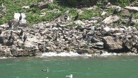 Multitud de los gansos, pájaros, animales, naturaleza, fauna almacen de metraje de vídeo