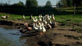 Multitud de los gansos que caminan a lo largo de la charca en granja del pájaro Multitud del ganso en granja avícola metrajes
