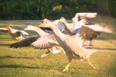 Multitud de los gansos que corren junto Imágenes de archivo libres de regalías