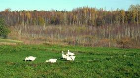 Multitud de los gansos que pastan en el prado almacen de video