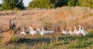 Multitud de los gansos que pastan en hierba en campo del verano en la puesta del sol fotografía de archivo libre de regalías