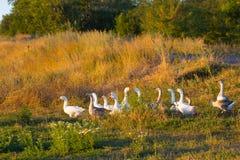 Multitud de los gansos que pastan en hierba en campo del verano en la puesta del sol foto de archivo