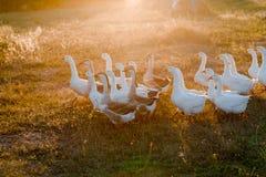 Multitud de los gansos que pastan en hierba en campo del verano en la puesta del sol fotografía de archivo
