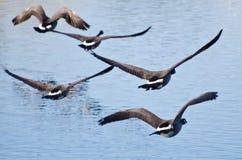 Multitud de los gansos que sacan del agua Fotos de archivo libres de regalías