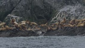 Multitud de los leones marinos que saltan en agua del acantilado rocoso Fauna y animal almacen de metraje de vídeo