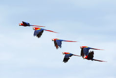 Multitud de los macaws salvajes del escarlata, corcovado, Costa Rica Imagenes de archivo