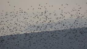 Multitud de los pájaros 2 almacen de metraje de vídeo