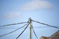 Multitud de los pájaros del estornino en los alambres y los tejados Fotografía de archivo libre de regalías