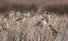 Multitud de los pájaros del gorrión imagenes de archivo