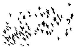 Multitud de los pájaros negros de los pájaros que vuelan contra un cielo blanco en los di Foto de archivo