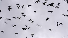 Multitud de los pájaros que circundan en el cielo metrajes