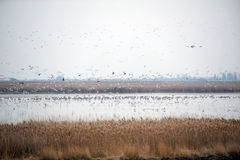 Multitud de los pájaros que toman vuelo Fotos de archivo libres de regalías