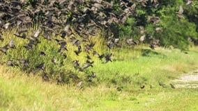 Multitud de los pájaros que vuelan de la tierra almacen de video