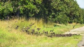 Multitud de los pájaros que vuelan por intervalos la tierra metrajes