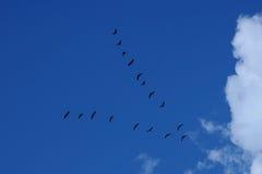 Multitud de los pájaros que vuelan una cuña en el cielo azul Foto de archivo