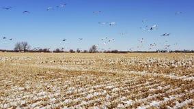 Multitud de los pájaros takeing apagado de campo del invierno almacen de metraje de vídeo